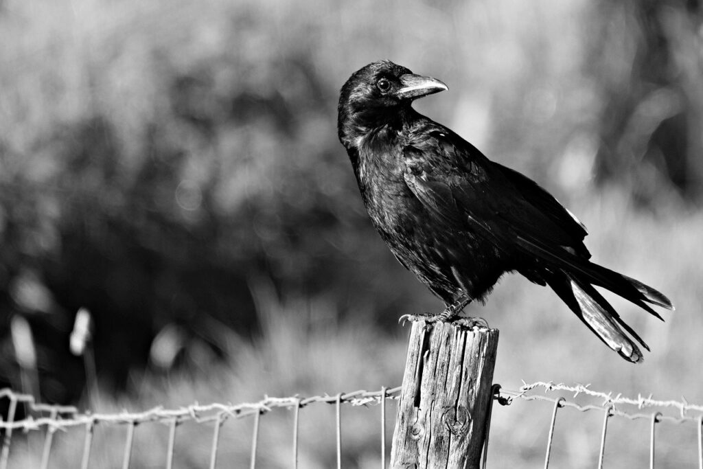 a crow sitting on the wood